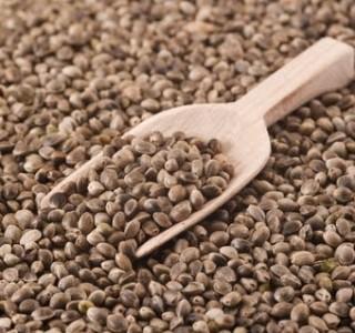 semente-canhamo-3